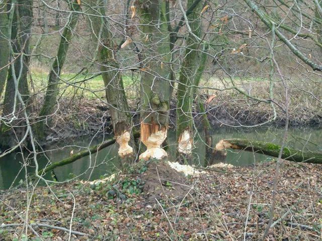 Návrat bobrů na Bobravu